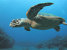 A majestic Hawksbill Sea Turtle (photo via Wikipedia)