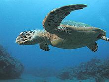 A majestic Hawksbill Sea Turtle (photo via Wikipedia)
