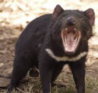 A Tasmanian Devil showing off his powerful jaws