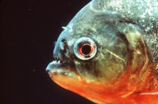 Are you as hungry as this piranha?