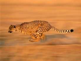The Young Cheetah – A Story About the Voices That Influence Us